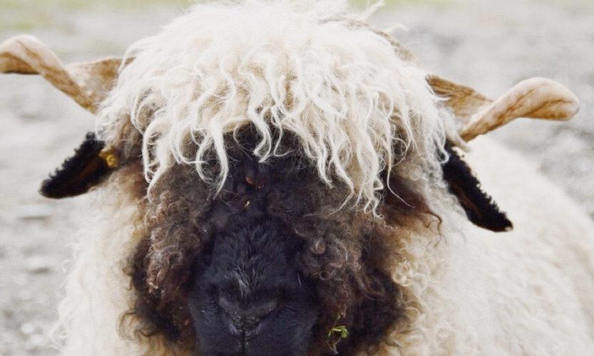 策馬特必玩-Wolli Sheep / Black-nose Sheep 黑鼻羊