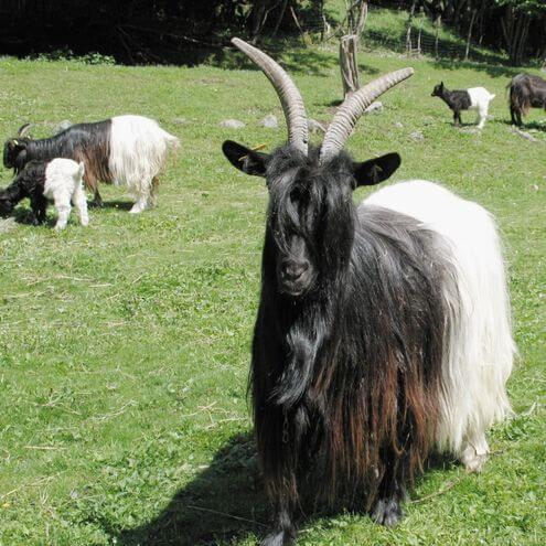 策馬特必玩-Black-neck Goat 黑脖羊