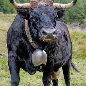策馬特必玩-Hérens Cows 黑乳牛
