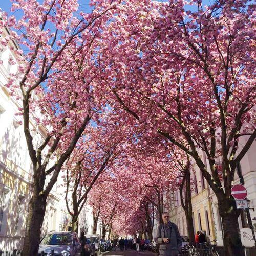 德國波昂Bonn必玩-Kirschblüte 櫻花街