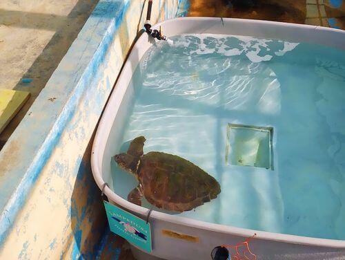 義大利蘭佩杜薩島 Isola di Lampedusa 必玩 - Centro Tartarughe Marine Lampedusa 赤蠵龜保育中心